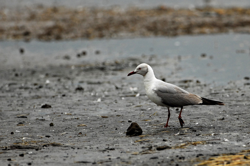 Grey-headed Gull.JPG