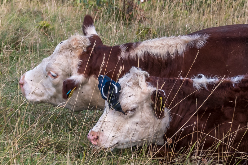 Cow peckers-0072.jpg