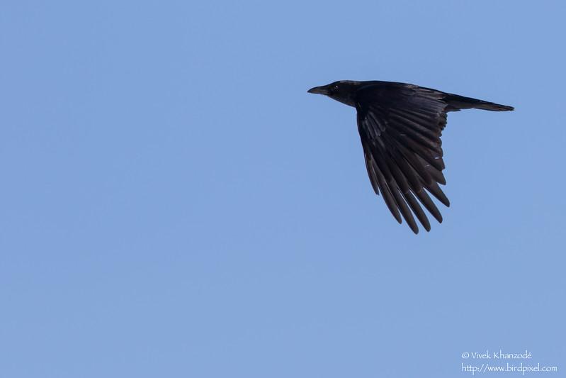 Carrion Crow - Hokkaido, Japan