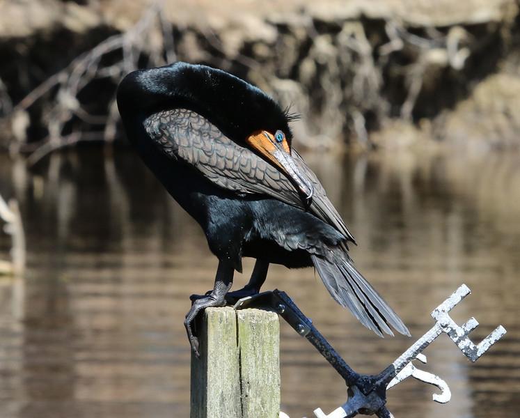 cormorant maine 2.jpg