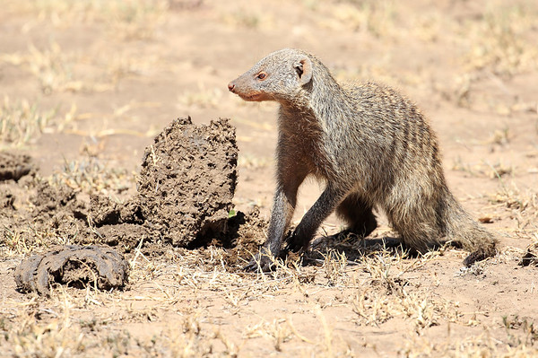 Banded Mongoose Mara Asilia Kenya 2015