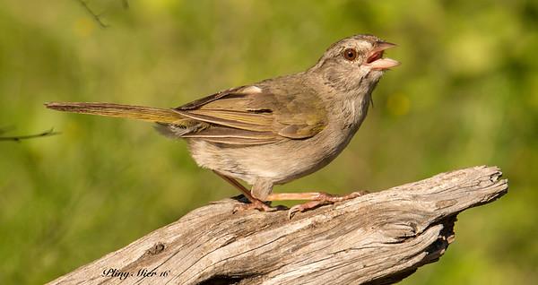 Olive Sparrow 3 LL_DWL5491-2.jpg