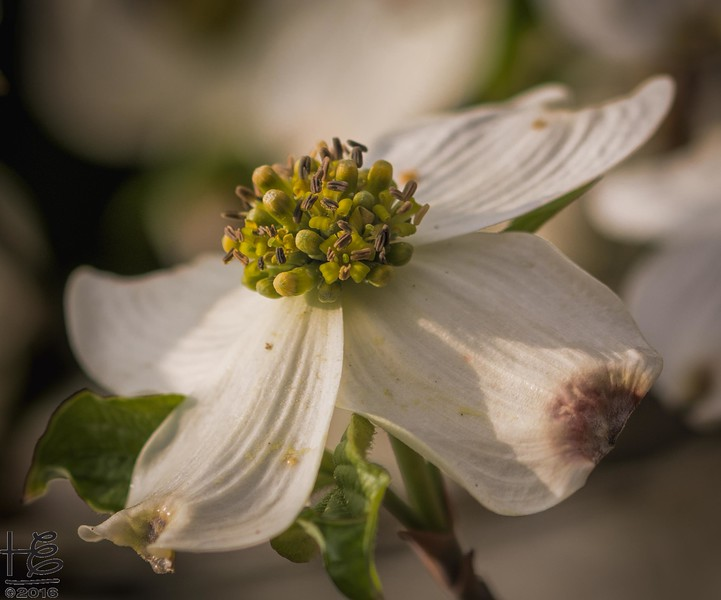 Blooming dogwood flower