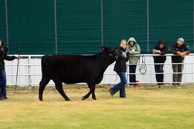 Breeding Heifers Class 5