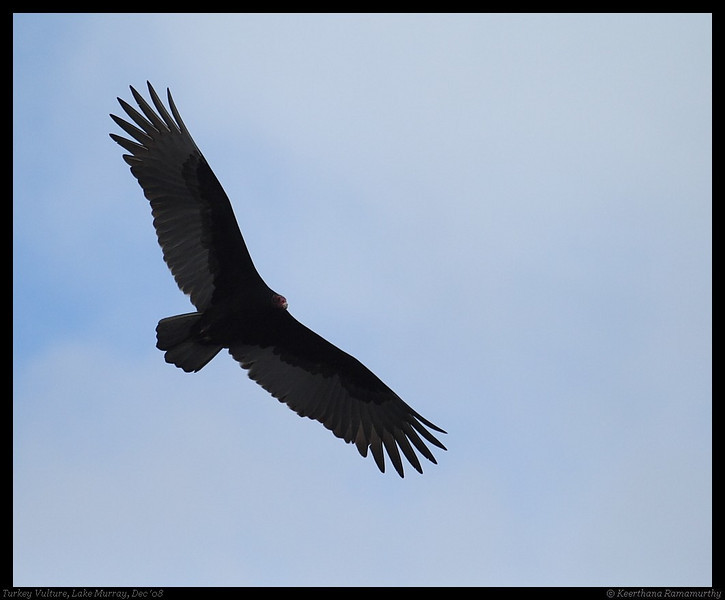 Turkey Vulture, Lake Murray, San Diego County, California, December 2008