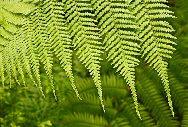 Fresh ferns