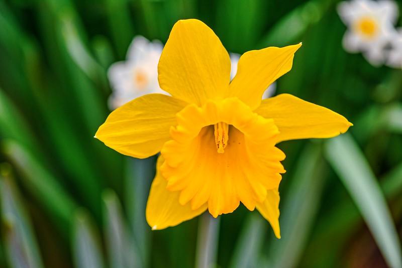 Daffodils 2-14-18- Lum 2439.jpeg