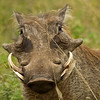 { happy warthog }