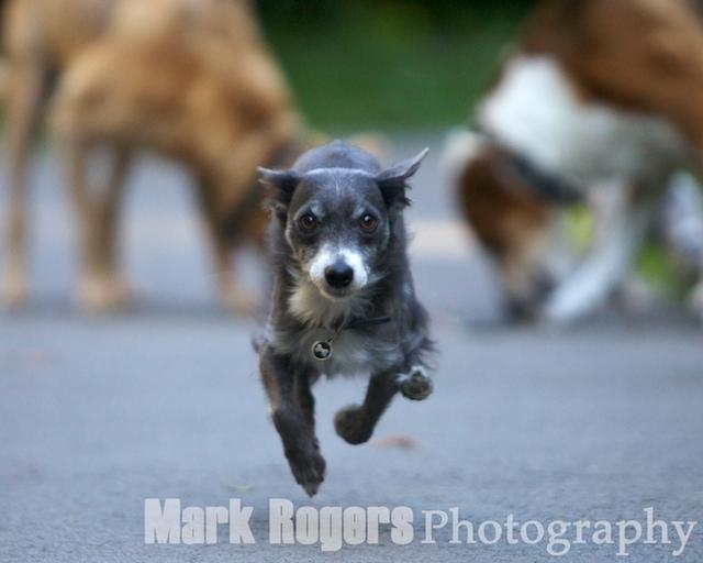 Auggie on the run
