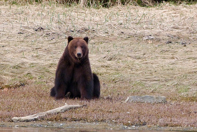 Spring Brown Bear Taking a Break from Grazing May 2014, Cynthia Meyer, Chichagof Island, Alaska