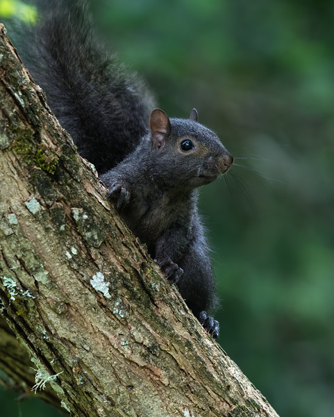 Black/Gray Squirrels