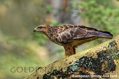 European Honey-buzzard, Kenya