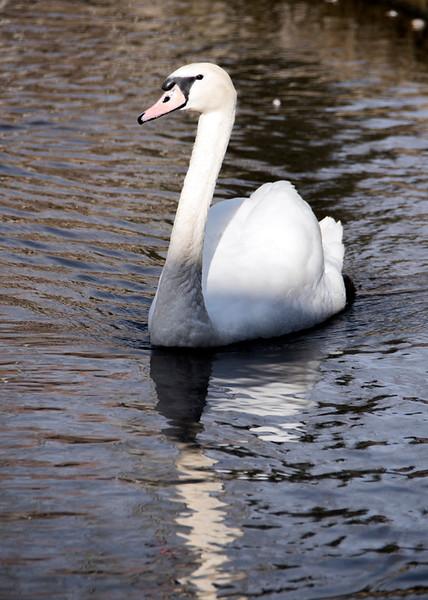 sun valley swan.jpg