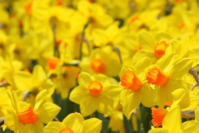 March daffodils welcome spring. © 2020 Kenneth R. Sheide