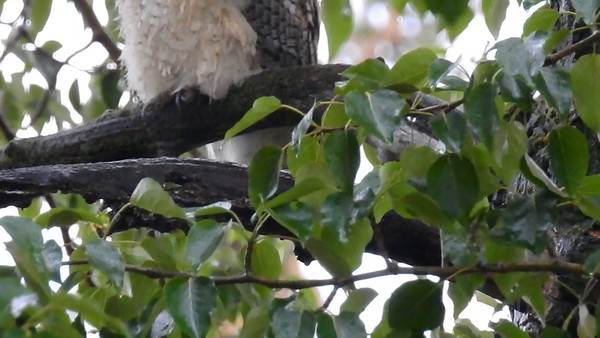 5-22-16 Video - Great Horned Owlet - Snow & Rain