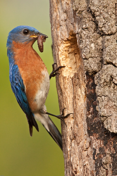 Eastern-bluebird-delivering-caterpillar.jpg