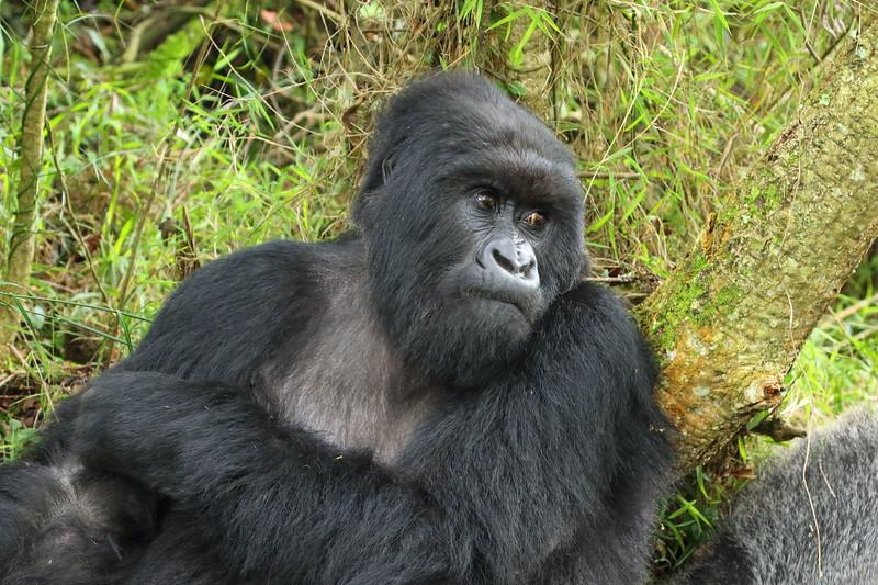 Gorilla0028.JPG