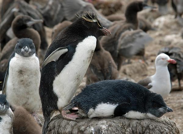 Antarctic-Rockhopper Penguins