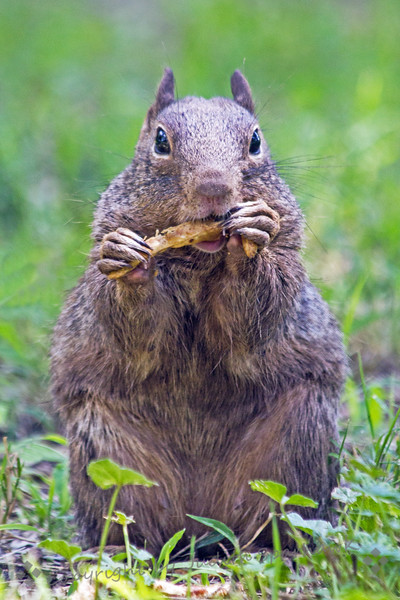 Squirrel Lunchtime