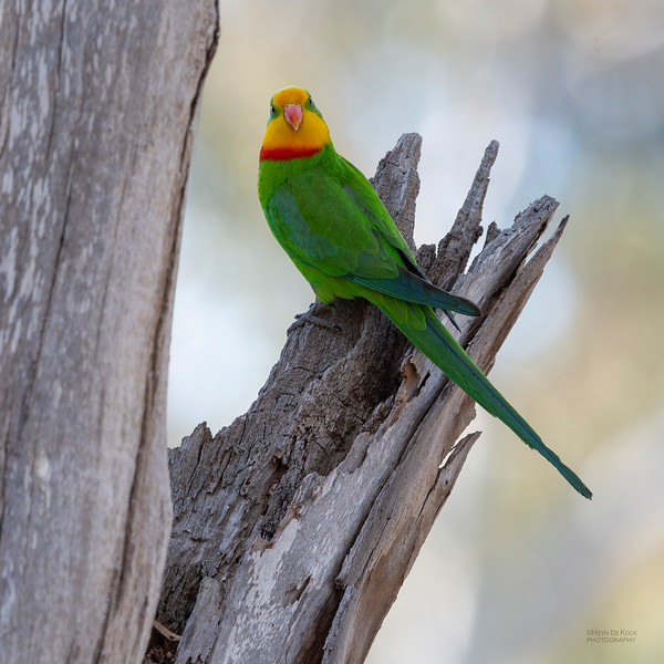 Superb Parrot, Deniliquin, NSW, Oct 2018-5.jpg