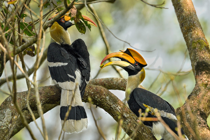 Great-Hornbill-male-female-courtship-Kaziranga.jpg