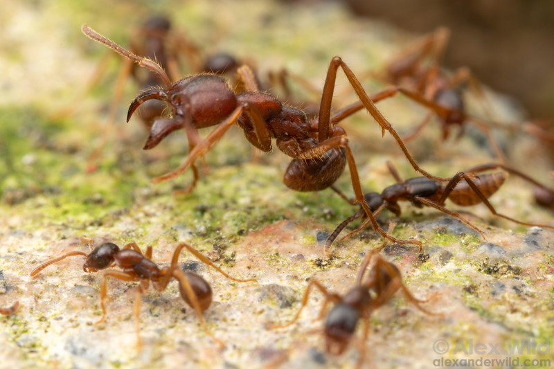 Rove beetle in Labidus spininodis colony