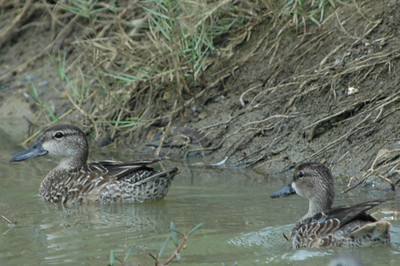 Blue-winged Teal, Blauwvleugel taling