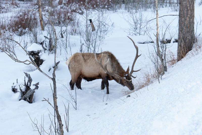 _AR71024 Bull Elk.jpg