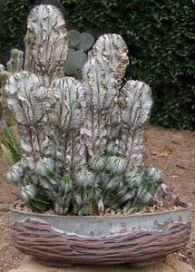 Euphorbia horrida 'Weindulate'