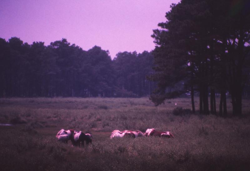 Chincoteague 1981-07 015.jpg