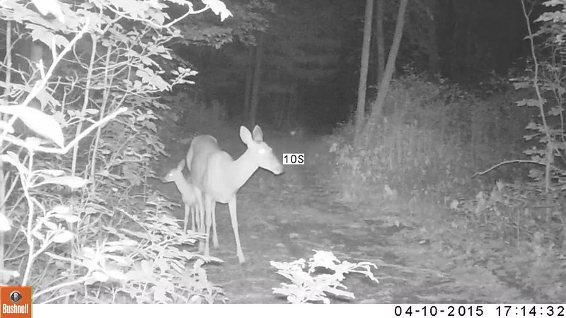 Mama and her fawn night video.AVI