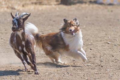 Herding Test - Goats