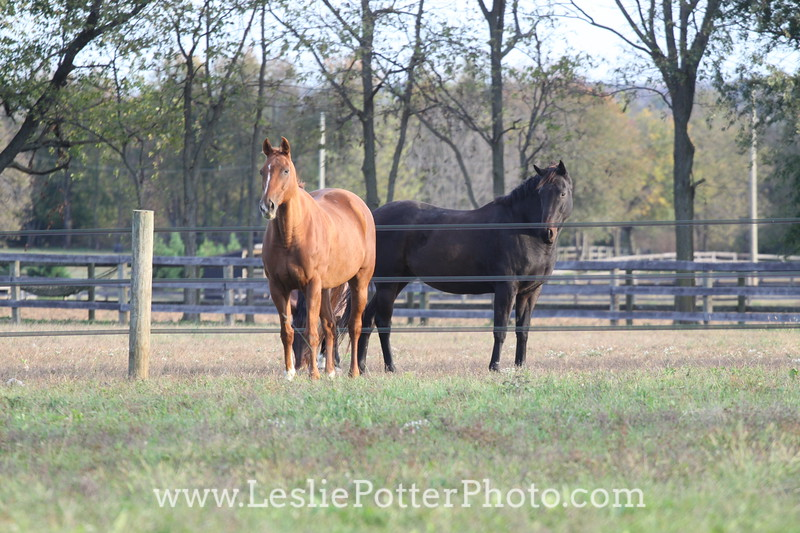 Horses in Pasture Separated by Electric Tape