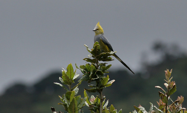 Silky Flycatchers (Ptilogonatidae)