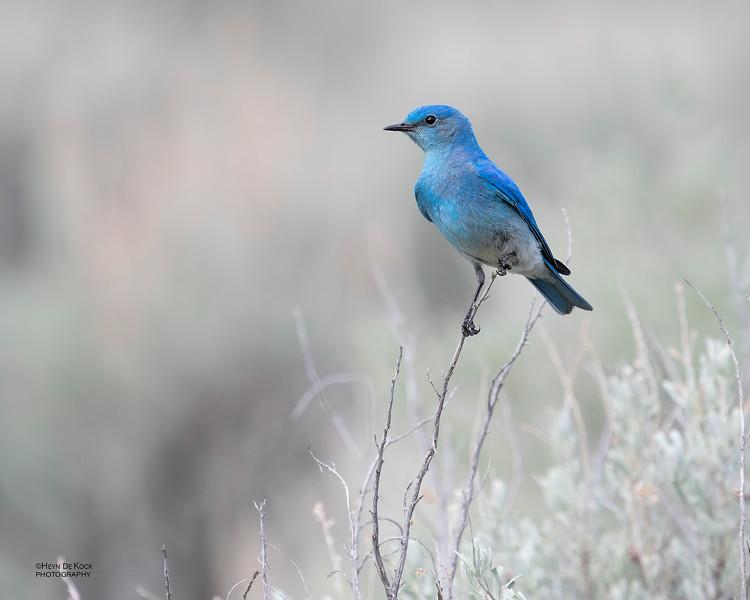 Mountain Bluebird, Yellowstone NP, WY, USA May 2018-3.jpg