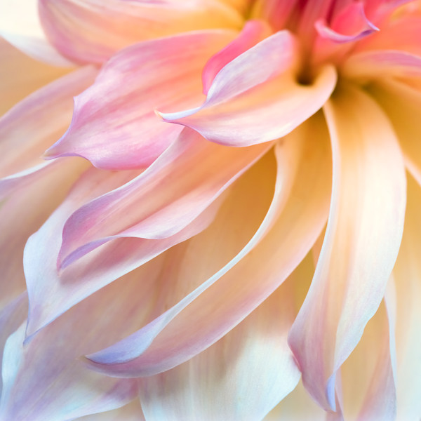 Delicate Dahlia petals diagonally across the image.  Light yellow fades to pink