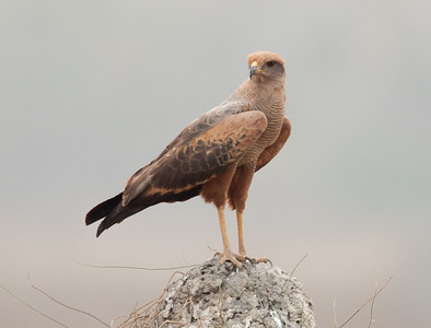 Savannah Hawk