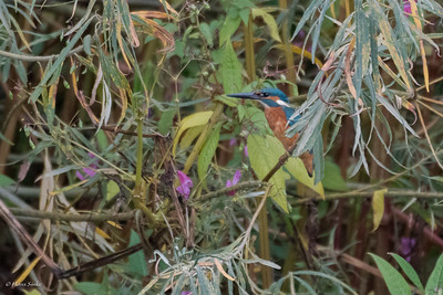 Kingfisher, Common (spp. ispida)
