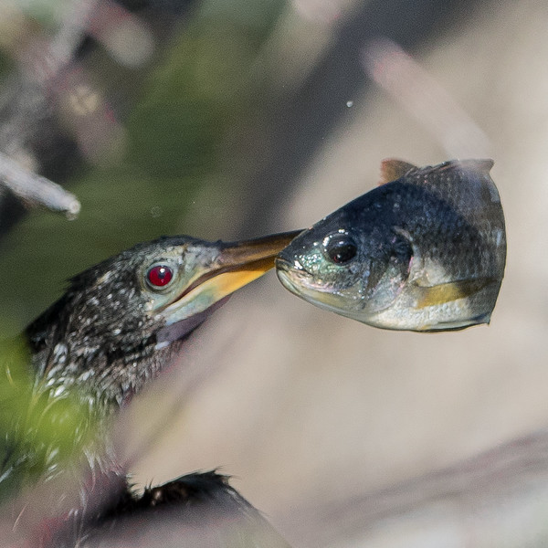 Anhinga  Fish-4992.jpg