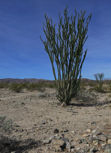 Ocatillo - Colorado Desert - Joshua Tree National Park