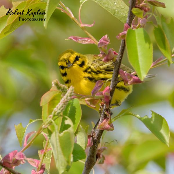 Prairie Warbler-5319.jpg