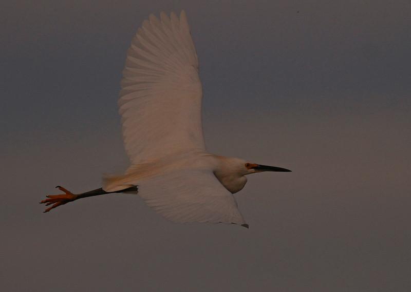 Snowy, Sunset Flight (Las Gallinas)