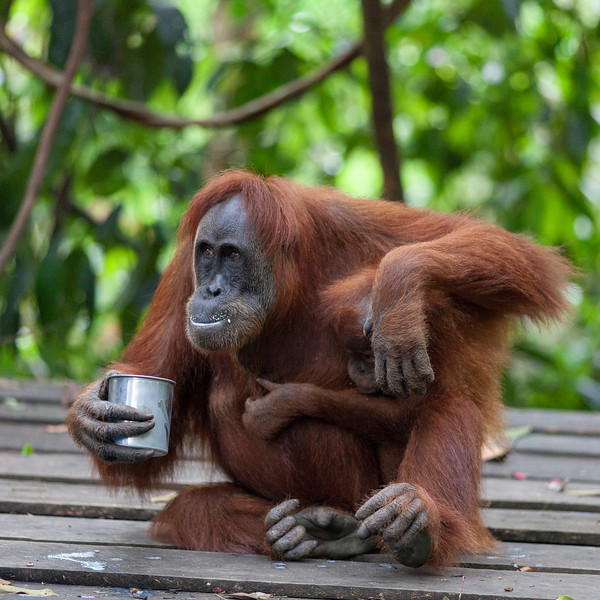 Orang Utans, Feeding platform near Bukit Lawang, Gunung Leuser NP