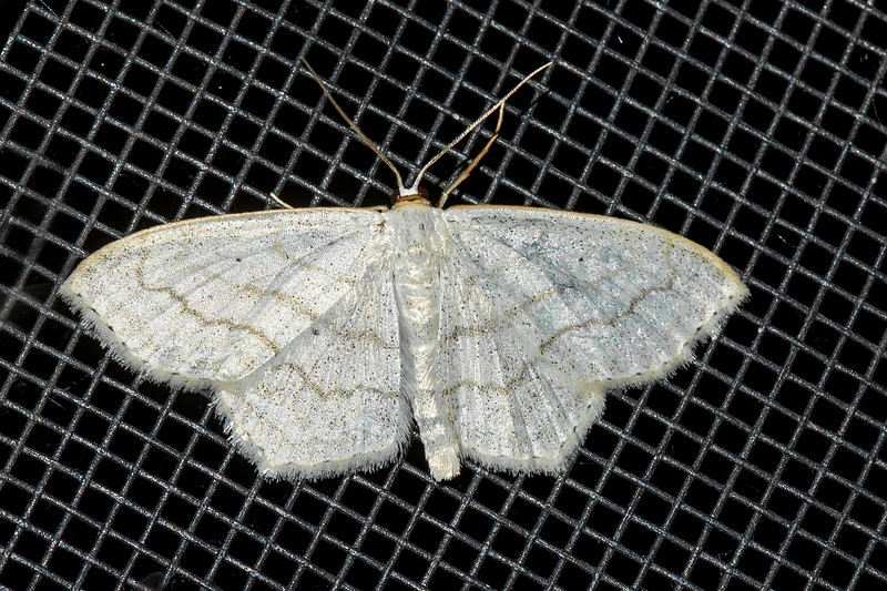 Wave-Soft-lined-(Scopula inductata)-Dunning Lake-Itasca County, MN