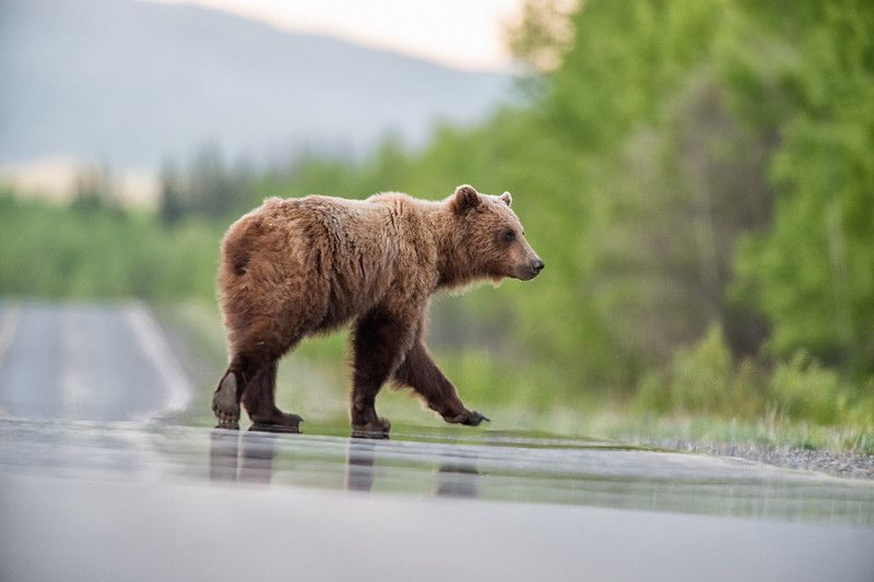 A blonde Grizzly Bear on the Alaska Highway, in Yukon, Canada.