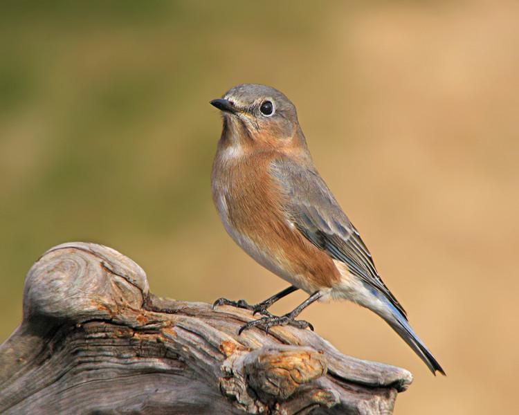 bluebird_2174.jpg