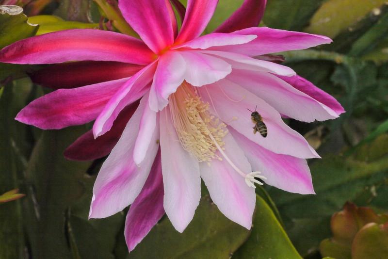 20121122_0726_5386 昙花 epiphyllum and bee