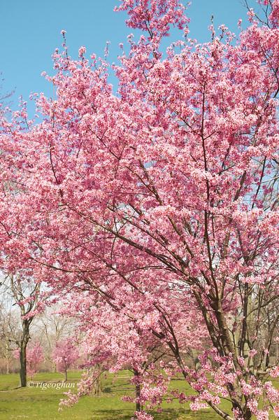 April 10_BranchBrookCherryBlossoms_7530.jpg