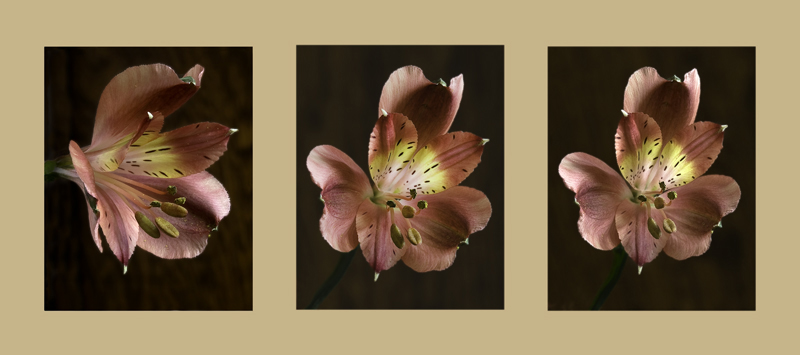 #10 Astroemeria by Shelley Oconnell. F 9, 3.2 sec ISO 100, F8, 6 sec, F16 15 sec,edited and  photomerged in CS2 and frame added. (Note from AnnF) Exif= Oly E-3, RAW, Exp manual, 6sec @ F8.0, no flash, ISO100. 3.2sec @ f9.0, no flash, ISO100. 15sec @ f16, no flash, ISO100.