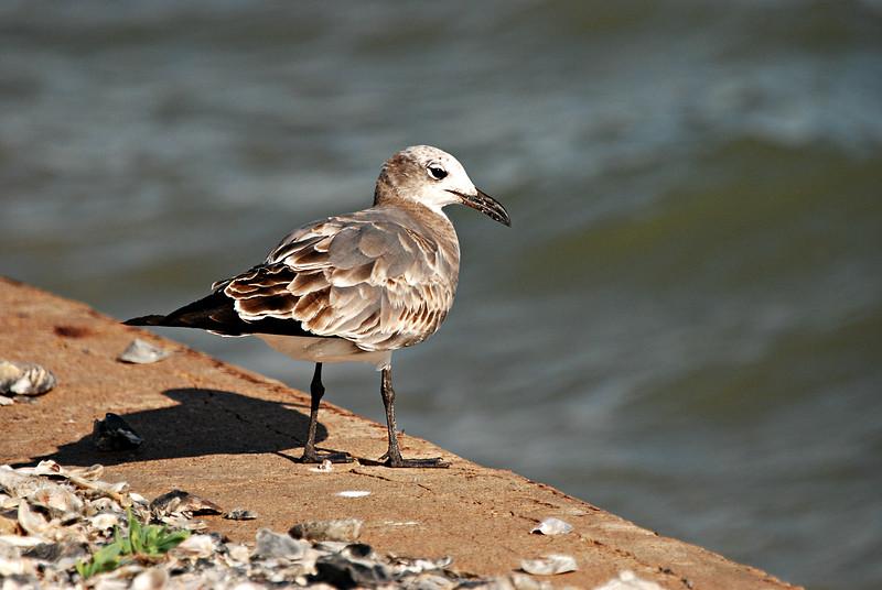 Juvenile Laughing Gull, TX